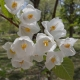 Silver Bell Flower